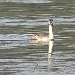Great crested crebe