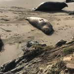 Thousands of elephant seals at the Rookery