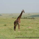 The silent beauty of the Maasai mara-maasai giraffe