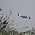 White throated kingfisher in flight