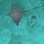 eagle ray off the jetty