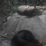 jaguar and panther
