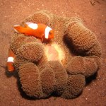 Anemonefish are slower and easier to photograph!
