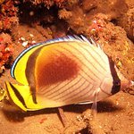 Butterflyfish pose much better for photos at night!