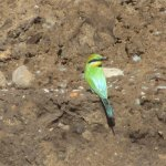 Rainbow Bee Eater At Black Swan Lake, Bundall