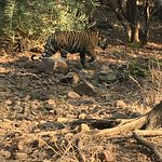 Wild tiger at Ranthambore National Park
