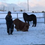 At the end of the tour, the horses get some play time and enjoy rolling in the snow.