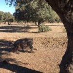 Cerdo ibérico comiendo bellotas
