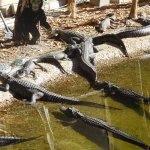 Alligators Sunning Themselves