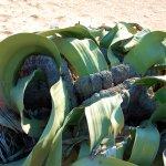 صورة فوتوغرافية لـ Welwitschia Plains, A Scenic Drive