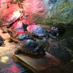 Red belly sliders in the aquarium