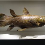 Coelacanth at the Houston Museum of Natural Science