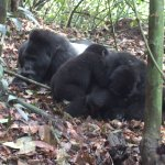 Silverback and babies