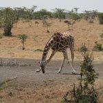 Giraffe at salt lick/waterhole visible from lounge/tents