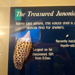 Part of an informative display describing the highly prized Junonia shell