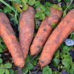 Blacketyside Farm carrots sold in the farm shop, Beautiful, taste divine.