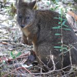 Pademelon with baby in bush at campsite