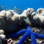 Bright blue starfish with coral.