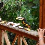 Tucanetes en estado natural