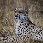 cheetah at mara looking out hill
