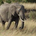 elephant roaming at the mara