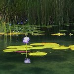 Water Lilly, Lake Barrine