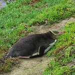 first yellow eyed penguin we saw