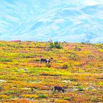 Fall colors in full bloom - late August.  Couple of caribou enjoying the foliage.