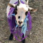 Bilde fra AZ Goat Yoga