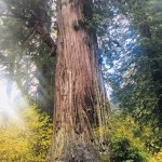 The biggest tree!! 1500 years!