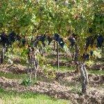 Cabernet Franc Vineyards