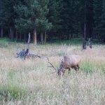 elk grazing on Grand Loop Road