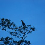 Local Wildlife, Hornbill high up a tree!