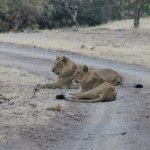 two lions just finished feeding and watching the birds clean up their kill