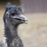 ostrich at the Kirkleatham owl center