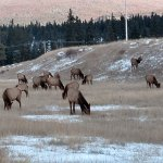 Caribou grazing at the hotel entrance.