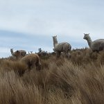 Vicunas in our Andes.