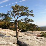 Hardy trees find their home on the granite face of Stone Mountain.