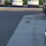 Wild rabbits in the parking lot