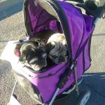 Senior pugs, Opal and Macie enjoying a stroller ride to T or C, NM dog park