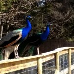 Friendly & colorful peacocks