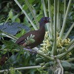 A rufous-vented Chachalaca (Cocrico) across the road from our cottage