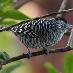 A barred antshrike right next to our porch.