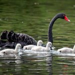 Love the swans and their chicks