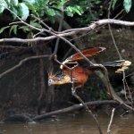 Hoatzin (Opisthocomus hoazin) That is the name of the bird.