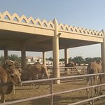 Photo of Royal Camel Farm