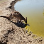 a kangaroo having a drink
