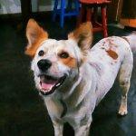 Fox, el perro peruano gordo!