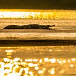 Golden Magar at Chambal River