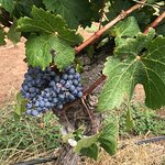 Grapes almost ready to pick